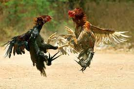 Fighting Rooster - How to Train Fighting Chickens