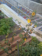 Photo: Freemontodendron--a California native--thriving in its second year of continuous growth at the top of the Hidden Garden Steps gardens (16th Avenue, between Kirkham and Lawton streets in San Francisco's Inner Sunset District) in early April 2014. New and returning volunteers are welcome to join volunteer-driven community-based gardening and clean-up efforts on the second Saturday of each month from 1- 3 pm.   For more information about the Steps and the 148-step ceramic-tile mosaic completed by project artists Aileen Barr and Colette Crutcher, please visit our website (http://hiddengardensteps.org), view links about the project from our Scoopit! site (http://www.scoop.it/t/hidden-garden-steps), or follow our social media presence on Twitter (https://twitter.com/GardenSteps), Facebook (https://www.facebook.com/pages/Hidden-Garden-Steps/288064457924739) and many others.