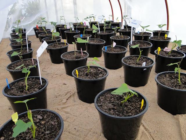 cultivo de meristemas para obtencion de batata libre de virus - 0023.JPG