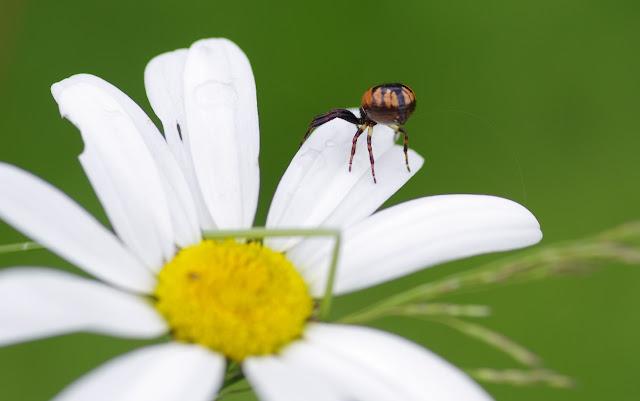 Thomisidae : Synema globosum (FABRICIUS, 1775). Les Hautes-Lisières (Rouvres, 28), 14 juin 2012. Photo : J.-M. Gayman