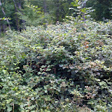 Ronces en fleurs fréquentées par A. hyperantus, A. paphia, M. athalia, Inachis io, M. jurtina, S. ilicis, etc. Les Hautes-Lisières (Rouvres, 28), 30 juin 2011. Photo : J.-M. Gayman