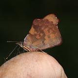 Biblidini : Orophila diotima cecidas HEWITSON, 1869 (Biblidinae). Kosñipata, Wayquecha (2900 m), forêt de montagne, nov. 2009. Photo : B. H. Purser