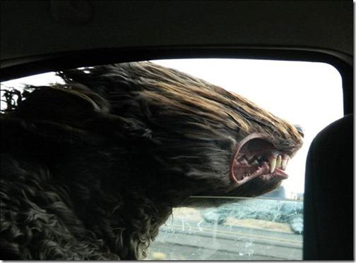 perros asomads a la ventanilla del coche (13)