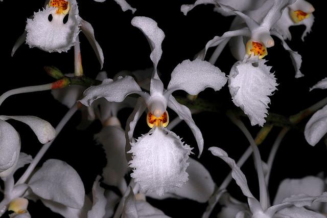Растения из Тюмени. Краткий обзор - Страница 4 Holcoglossum%252520subulifolium1