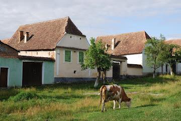 Freilaufende Kuh in Viscri