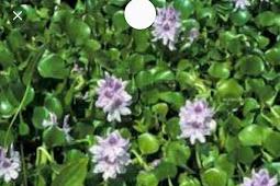 Enceng Gondok Sebagai Humic Acid dan Manfaatnya