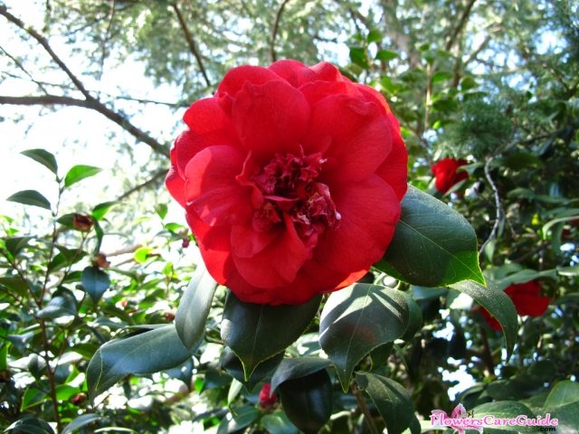 The Instruction of Fertilizing Camellias Flower