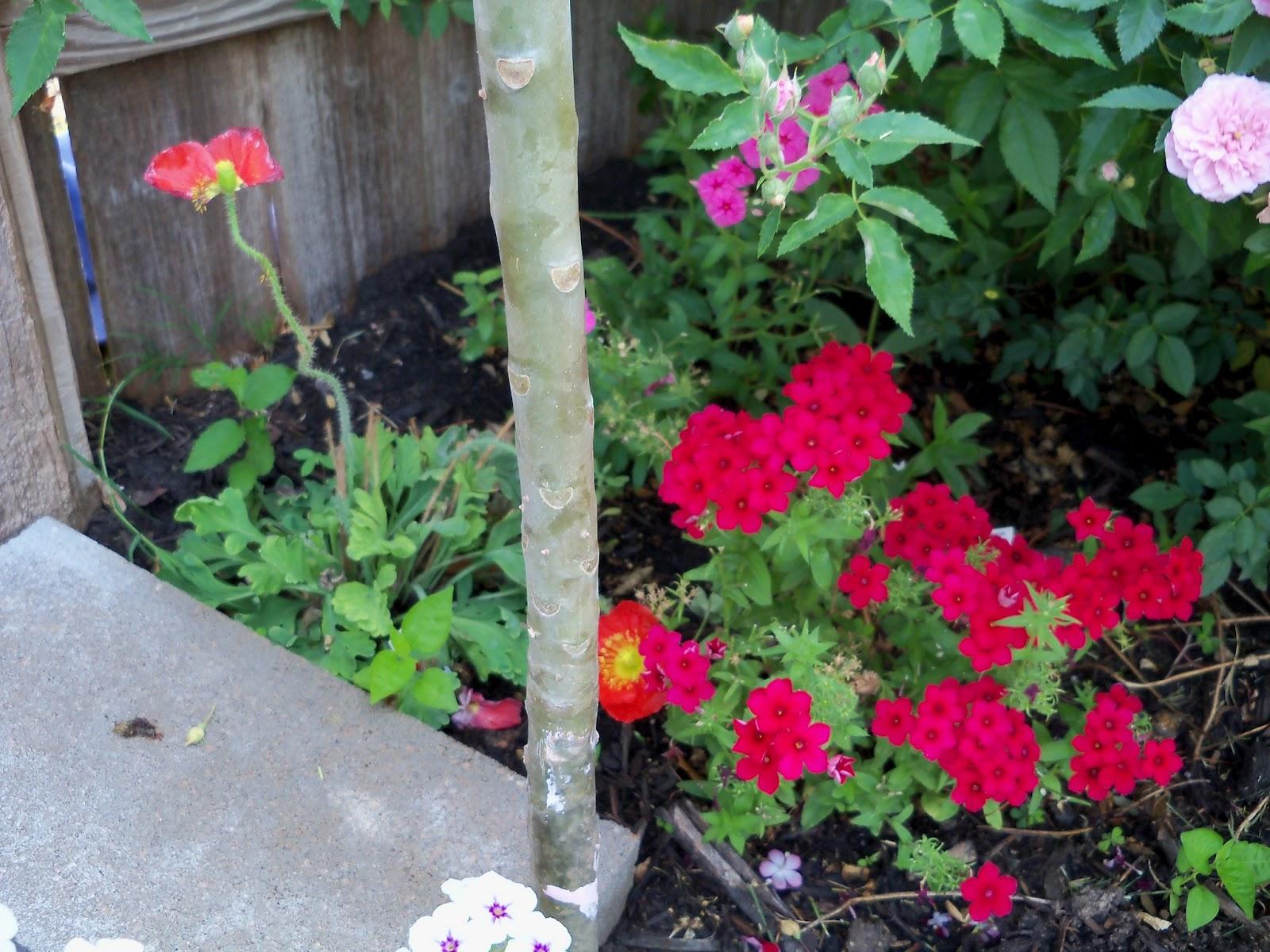 Gardening 2011 - 100_8176.JPG