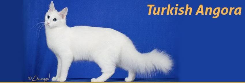 Mèo Nga Lông Dài | các giống mèo lông xù