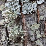 Bushy-lichen-and-others_MG_2934-copy.jpg