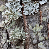 Bushy-lichen-and-others_MG_2934-copy.jpg