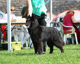 Photo: Estonian Junior Winner 2013 Black Vortex BELLA BELARA (YOCHIMU Polaris x ALFA ALTESSE Dakota)