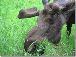 Bull_moose_close_up_feeding_on_fireweed