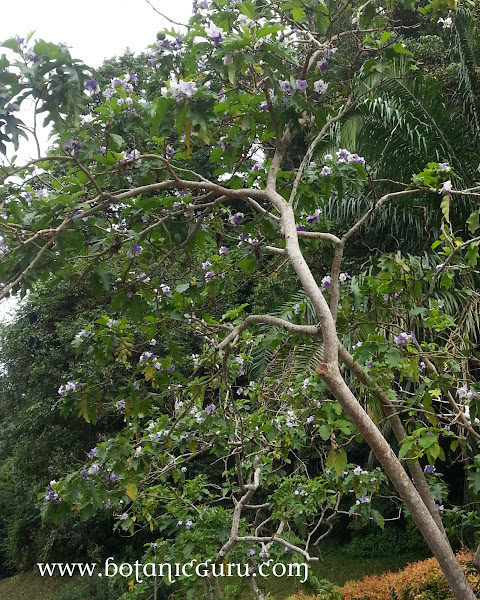 Solanum wrightii tree