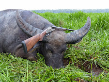 Great old buffalo bull taken by Mr Stefan B from Germany with his double rifle, a Heym 500 NE with engraved side plates.