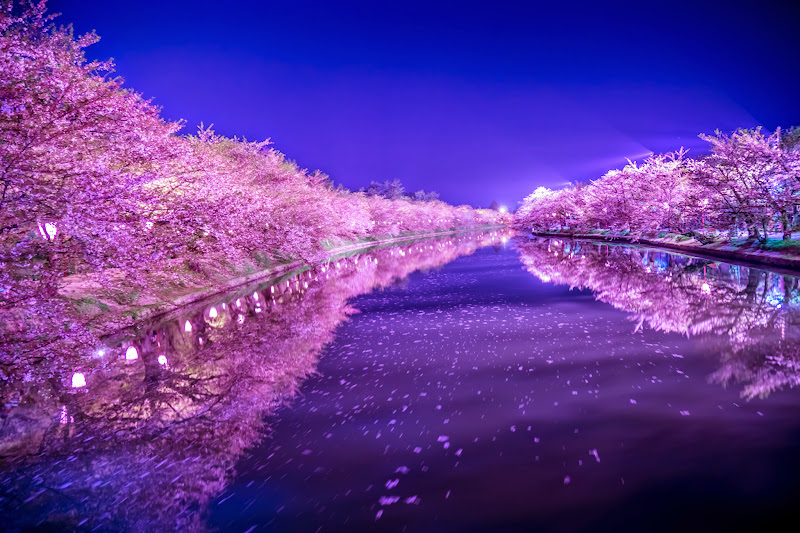 Hirosaki Park cherry blossoms illumination photo12