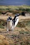 Penguins in Seno Otoway (Outside Punta Arenas, Chile)