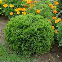 Thuja occidentalis 'Danica' habit - Żywotnik zachodni pokrój młodej rośliny