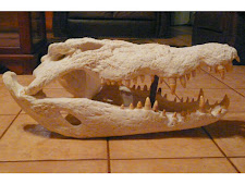 Large croc skull, bleached and prepared for a customer
