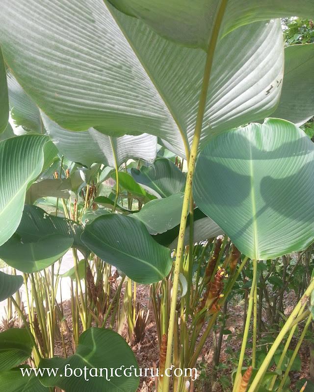 Calathea lutea, Cuban Cigar shrub