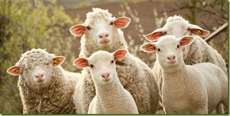 Sheep-listen