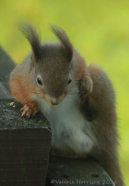 10-red-squirrel
