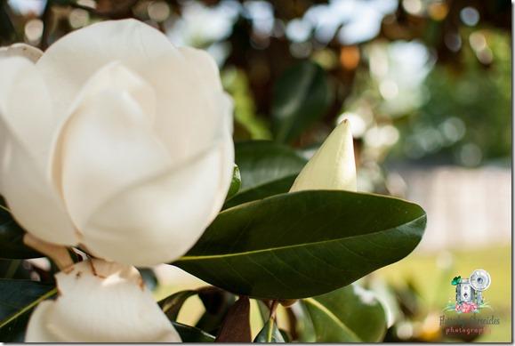 Magnolia (©Jenny @ Flutterbye Chronicles)