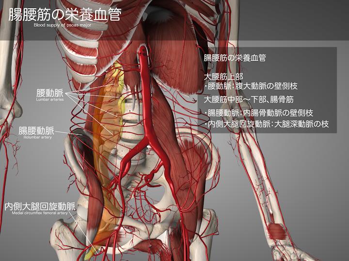 2014-28a_02_腸腰筋の栄養血管_腰動脈_腸腰動脈_内側大腿回旋動脈.png