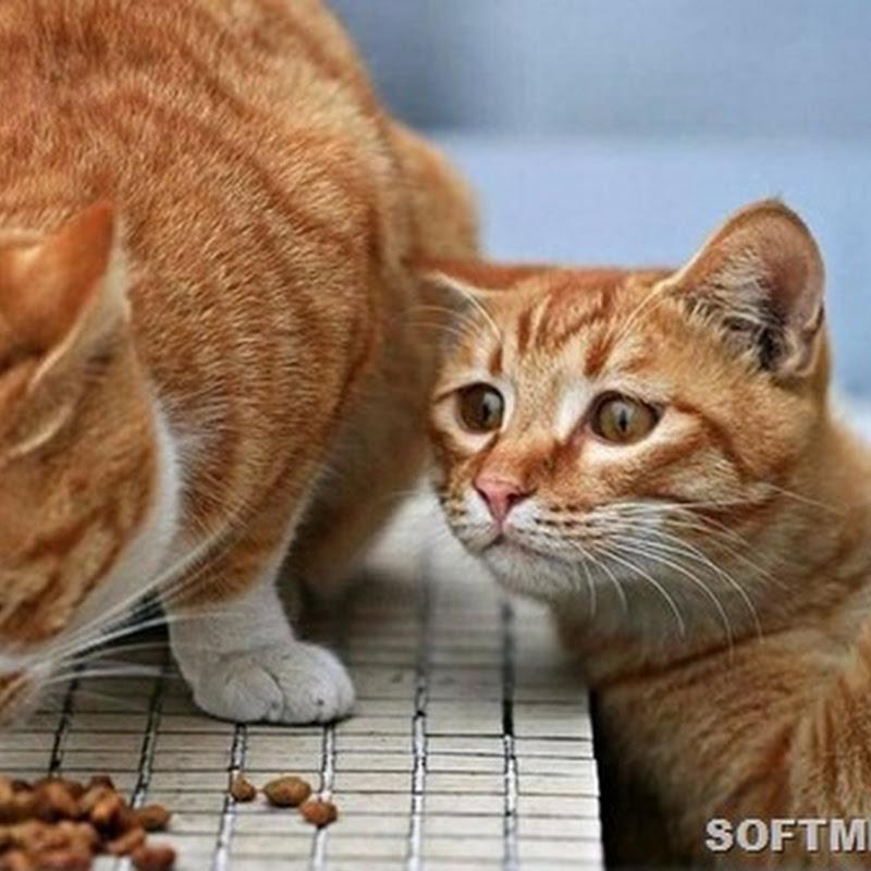 Насколько вкусен кошачий корм?