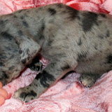 Available blue merle girl @ 2 weeks