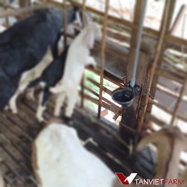 Máng uống tự động cho gia súc 02