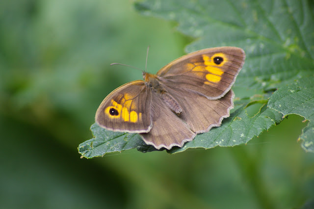 Maniola jurtina LINNAEUS, 1758, femelle. Les Hautes-Lisières, 6 juillet 2010. Photo : J.-M. Gayman