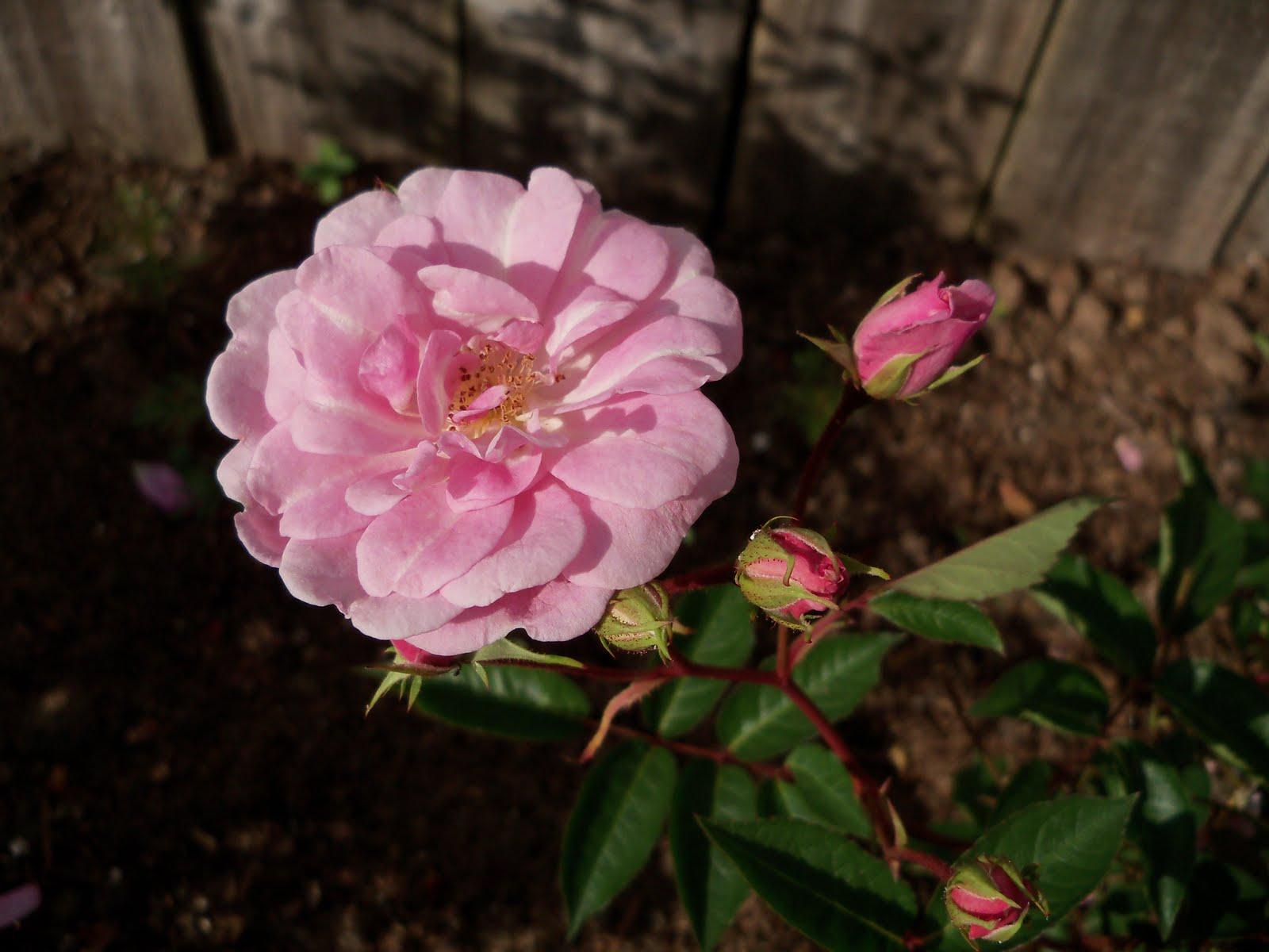 Gardening 2010 - 101_1000.JPG