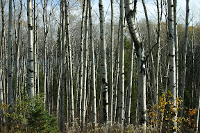 A stand of birch trees in northern Ontario