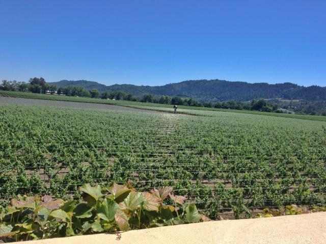 Vineyards at Robert Mondavi