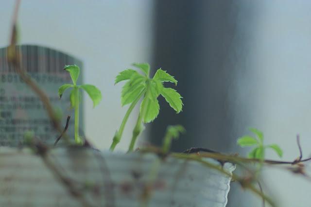 枯れた鉢植えが復活 EOS-1D mark II