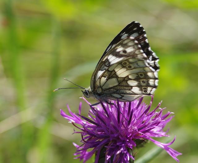 Melanargia galathea (L., 1758), femelle. Les Hautes-Courennes (500 m), Saint-Martin-de-Castillon (Vaucluse), 25 juin 2015. Photo : J.-M. Gayman
