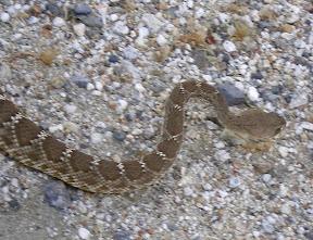 Large rattlesnake further up Carrizo Gorge