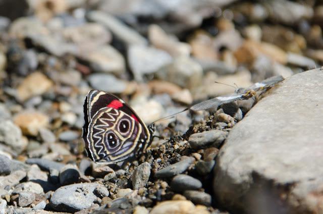 Callicore sorana horstii (MENGEL, 1916). Au nord de Coroico à 1005 m d'alt. (Yungas, Bolivie), 15 octobre 2012. Photo : C. Basset