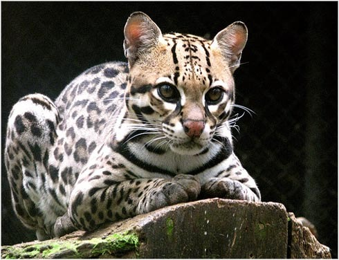 Ubuntu 11.10 will be called 'Oneiric Ocelot'