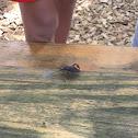 Stink bug (Brown marmorated stink bug)