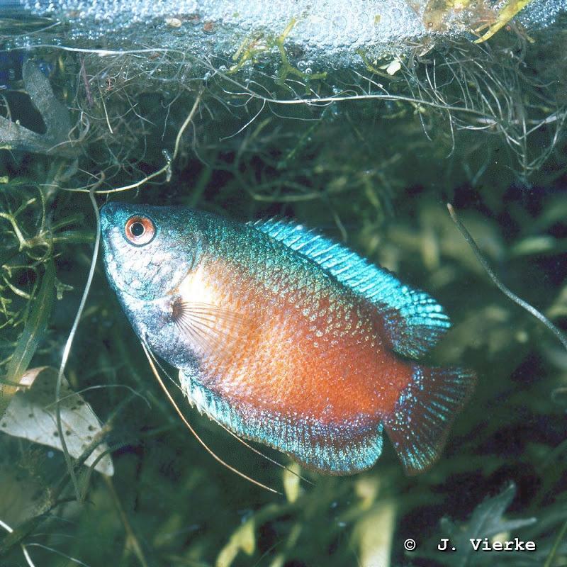 Colisa lalia Männchen, die Züchtung Regenbogen-Lalia