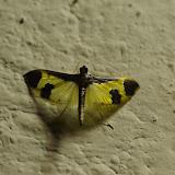 Crambidae : Pyraustinae : Spilomelini : Syllepis hortalis Walker, 1859. Fundo Palmarito, 265 m (Yopal, Casanare, Colombie), 7 novembre 2015. Photo : J.-M. Gayman
