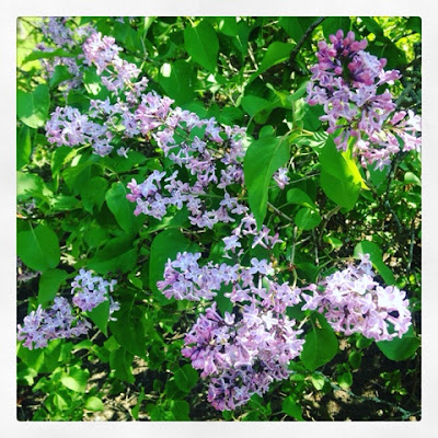 Lilacs in bloom, mid-spring in New England