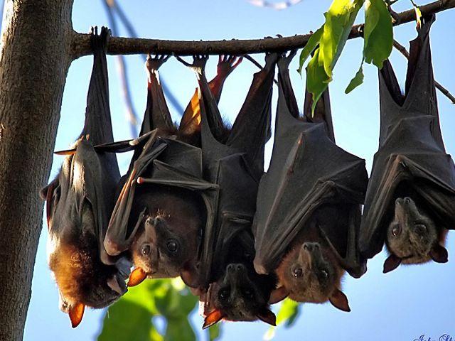 Investigadores chinos encuentran lotes de nuevos coronavirus en murciélagos