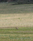 Coyote, July 9, 2012 (Photo by C. Miller)
