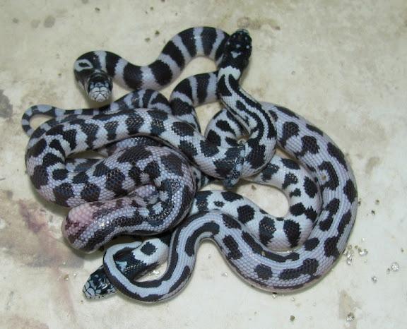 SAReptiles View Topic California King Morphs - California king snake morphs