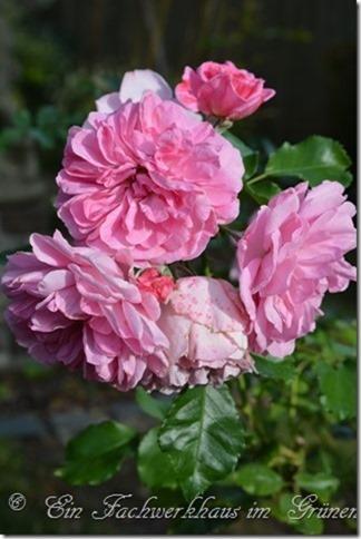 Strauchrose Uetersens Rosenprinzessin
