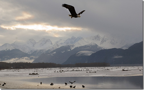 Eagles fall/winter along Chilkat River, picture from www.country-magazine.com