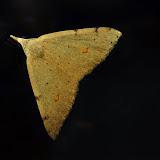 Geometridae : Oenochrominae : Dichromodes estigmaria WALKER, 1861. Umina Beach (NSW, Australie), 24 avril 2011. Photo : Barbara Kedzierski